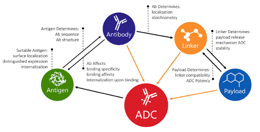 Image: ADCs consist of three components: payload, linker, and antibody. Creative Biolabs' Yuning
